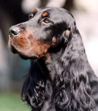 Gordon Setter...beauty, brains and bird sense. A bit of royal aloof indifference when first introduced to strangers but capable of completely owning their forever family in five minutes flat.