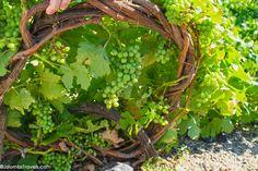 Santorini for Wine and Food Lovers -- Santorini Assyrtiko Grapes