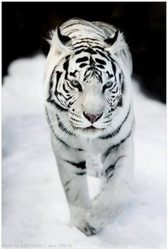 tigre blanc - tiger More Animals And Pets, Baby Animals, Cute Animals, Wild Animals, Nature Animals, Animals Planet, Animals Images, Beautiful Cats, Animals Beautiful