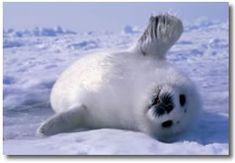 17 animals that will love you adorables funny graciosos hermosos salvajes tatuajes animales Super Cute Animals, Cute Baby Animals, Animals And Pets, Funny Animals, Baby Harp Seal, Baby Seal, Cute Seals, Animal Captions, Seal Pup