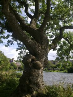 The most amazing Ash tree, on the banks of the river Derwent in Cockermouth, Cumbria, UK. It is opposite the House where the poet Wordsworth and his sister grew up, and it would hve been an ancient tree even back then!
