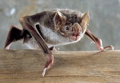 Bats are widely regarded as dark and mysterious creatures, none more so than the vampire bat. But is the vampire bat really as scary as it sounds? Vampire Bat Facts – Questions And Answers! Vampire Bats Facts, Bat Facts For Kids, Murcielago Animal, Nocturne, Comte Dracula, Bat Species, Cute Bat, Dangerous Animals, Creatures Of The Night