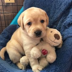 Adorable Yellow Lab puppy with a cuddly little friend