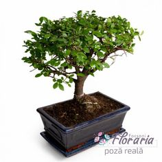 Bonsai Bonsai, Interiors, Plant, String Garden