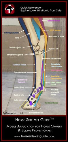 Horse Side Vet Guide - Quick Reference - Equine Lower Hind Limb - Side View  - Mobile App NOW AVAILABLE on iTunes! http://horsesidevetguide.com/
