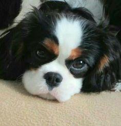 Cavalier King Charles Spaniel Fakten - Doggie tips - Cavalier King Charles Spaniel, King Spaniel, King Charles Puppy, Spaniel Puppies, Cocker Spaniel, Puppies And Kitties, Cute Puppies, Cute Dogs, Yorkies