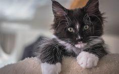 Herunterladen hintergrundbild kleine kätzchen, maine coon, schwarzes kätzchen, katzen, niedliche tiere