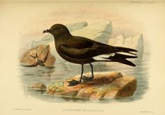 A monograph of the petrels (order Tubinares) ; By Godman, Frederick Du Cane, 1834-1919 Keulemans, J. G. (John Gerrard), 1842-1912 on Flickr.Publication info London :Witherby & Co. …,1907-1910. BHL Collections: Smithsonian Libraries
