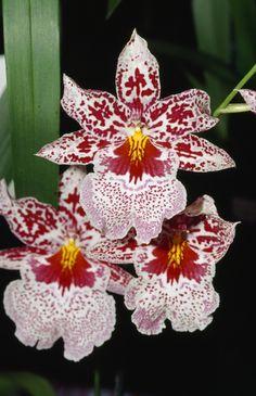 Odontonia Susan Bogdanow orchid