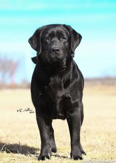 English Labrador Retriever