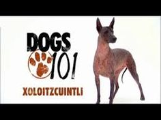 Image result for xolo dog breed large