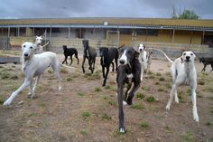 Galgos at Scooby