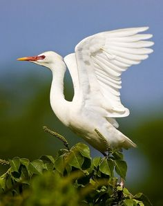 Cattle Egret. Photo by amaw on flickr
