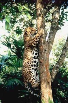 jaguar animals pictures | Jaguar: The Rainforest Animal