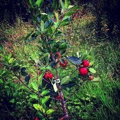Apple season has arrived in #Kenmare. Don't they look luscious? #howyoulikethemapples #home2kenmare