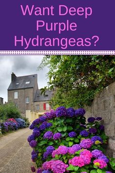 Gardening Tips If you wish for deep purple hydrangea flowers, you'll love this quick guide to changing hydrangea colors. It's a simple addition to your soil that will transform your pink or blue hydrangeas into the most beautiful purple or lavender color. Hydrangea Colors, Hydrangea Care, Hydrangea Flower, Purple Hydrangeas, Hydrangea Color Change, How To Grow Hydrangeas, Purple Perrenial Flowers, Propagating Hydrangeas, Hydrangea Bush