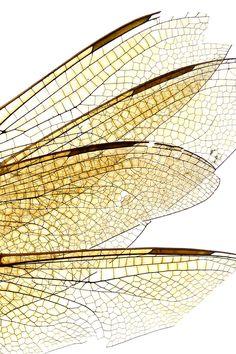 dragonfly wings | STILL (mary jo hoffman)