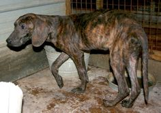 Boone is a 4 to 5 year old male plott hound cross, about 30 pounds. He seemed very afraid of being on leash, not sure if he's never been on one before or if he was just stressed as he had just arrived at the shelter after being caught in a trap...