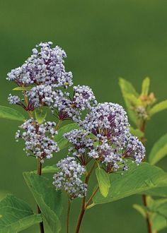 Ceanothus arboreus (feltleaf ceanothus ir tree lilac)