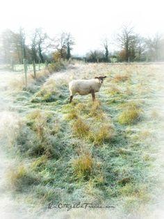 Les moutons de decembre - December sheep
