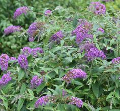 urple Haze Lo & Behold Butterfly Bush  A low spreading variety with dark purple-blue flowers that bloom from mid-summer through fall. A beautiful addition to late summer beds, borders and perennial gardens. Easy to grow.