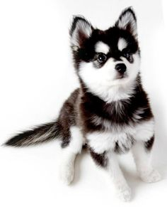Wonderful All About The Siberian Husky Ideas. Prodigious All About The Siberian Husky Ideas. Cute Baby Animals, Animals And Pets, Funny Animals, Cute Puppies, Cute Dogs, Dogs And Puppies, Doggies, Beautiful Dogs, Animals Beautiful