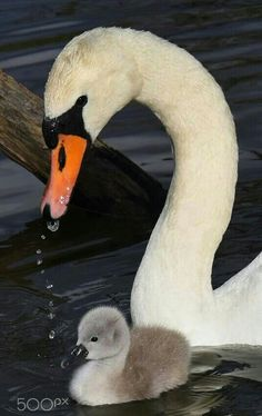 Mother Swan And Cygnet!