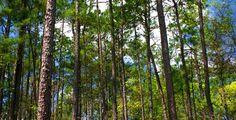 East Texas pine trees