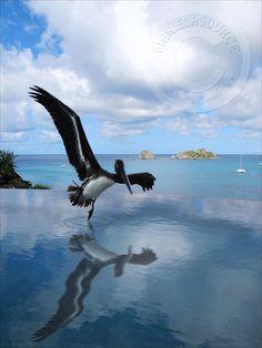 pelican in st barth © www.marielasource.fr