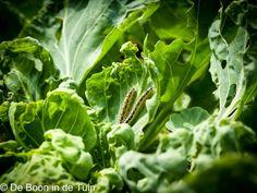 rups rupsen boerenkool spruiten vraat  Dit en nog veel meer op tuinblog De Boon in de Tuin | http://deboon.blogspot.nl