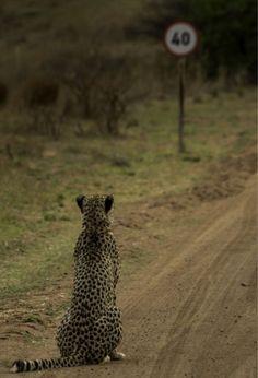 """<P>""""Cheetah denkt na over de snelheidslimiet... """"Wel dat is stom!"""" </P>"""