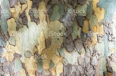 Close up of eucalyptus tree trunk texture royalty-free stock photo
