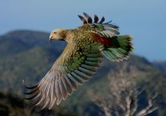 The Kea (Nestor notabilis) is an endemic and endangered large species of parrot from forested and alpine regions of the South Island of New Zealand. Picture from the web site of Moldovan Dorin Sea Birds, Love Birds, Beautiful Birds, Animals Beautiful, Cane Corso, Sphynx, Chinchilla, Wild Life, Otter