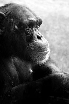 Primate portrait ~ by Julia Kaufmann, via 500px