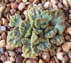Titanopsis calcarea