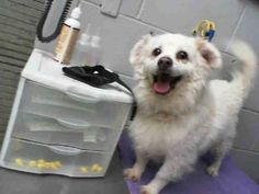 LINK TO VIDEO: http://www.youtube.com/watch?v=BGIpbivp9wA #A473723 Release date 10/15 I am a male, white Pomeranian mix. Shelter staff think I am about 6 years old. I have been at the shelter since Oct 01, 2014. ..City of San Bernardino Animal Control-Shelter. https://www.facebook.com/photo.php?fbid=10203664429788859&set=a.10203202186593068&type=3&theater