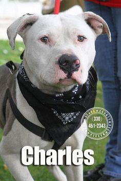 PLEASE RESCUE CHARLES!!!!! SUPER URGENT!!! PLEASE RESCUE CHARLES (lovebug) FOUND IN CANTON, OHIO.... NOW ADOPTABLE!!! $86 CASH TO APPROVED HOME! https://www.petfinder.com/petdetail/30461388/