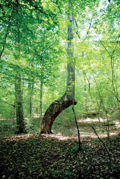 Native American tribes in the south used bent trees as guideposts. Trees have been found in the Blue Ridge mountains.