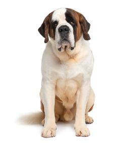 Saint Bernard short haired:   Saint Bernards are awesome family pets if you don't mind having a gigantic dog being part of your family, if you don't mind a lot of slobber, if you don't mind a lot of fur, and if you don't mind a dog who can clean off the dinner table with his tongue.