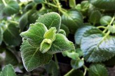 Rýmovník pomáhá nejen s rýmou, vypěstuje ho i amatér - Vitalia. Weight Loss Detox, Plant Leaves, Healing, Plants, Zero Waste, Fitness, Exercises, Syrup, Health