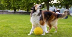 Does your dog bark at everything? Cesar's top 5 tips to stop dog barking are quick & easy. Taking the right action is the best approach for a long term fix. Dog Barking Video, Dog Barking At Night, Stop Dog Barking, Love Dogs, Cute Dogs And Puppies, Dog Control, Dog Training Videos, Training Dogs, Potty Training