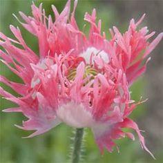 Pink Poppies - Bing Images