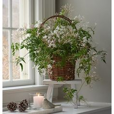 Jasmin plant (Jasminum polyanthum) is one of the luxurious room plants. Jasmine Plant Indoor, Best Indoor Plants, Pink Jasmine, Jasmine Vine, White Flower Farm, White Flowers, Plante Jasmin, Cosy Home, Potted Plants