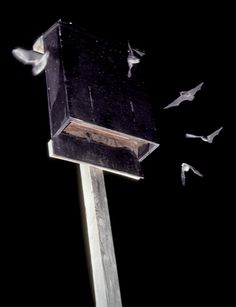 Instructions for building a bat house. Host some bats in your yard and get rid of those pesky mosquitoes!