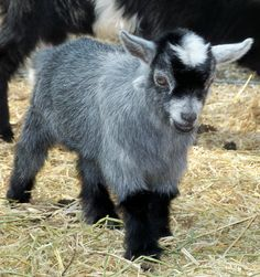 I just met someone who has 3 of these little critters here in Wydaho. I want a Pygmy Goat! they are absolutely adorable and have such neat personalities! They are just as affectionate as dogs but, they are just crazy and do weird stuff. Love them!