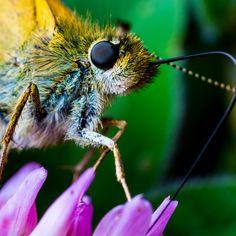 """Small Skipper Butterfly"" by Sam Fabian on Picfair"