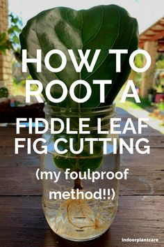 Learn how to propagate a fiddle leaf fig in no time with these tips and tricks. It's easy to double your plant collection with tricks like these. #indoorgarden #fiddleleaffig #indoorplantcare Gardening For Beginners, Gardening Tips, Easy House Plants, Plant Propagation, Fiddle Leaf Fig Tree, House Plant Care, It's Easy, Garden Projects, Planting