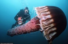 A giant pelagic jellyfish twice the size of a man - wow! Photographed by Bob Cranston/SeaPics/Solent.