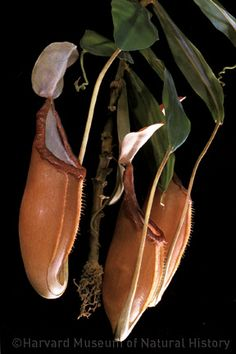 glass nepenthes