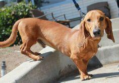 I. WANT. ONE. basset hound dachshund mix | Longboard the Dachshund / Basset Hound / Mixed (short coat) Photo